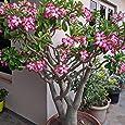5 PCS / BAG Desierto rojo Raras semillas color de rosa Balcón Bonsai ornamentales flores Adenium obesum Semillas de absorción de formaldehído