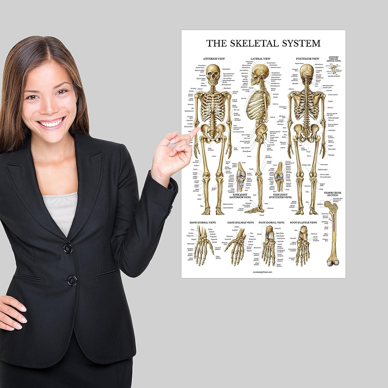 Skeletal System /& Spinal Nerves Anatomy Posters Set of 2 Anatomical Charts Laminated 18 x 27 Skeleton//Dermatomes 2 Pack