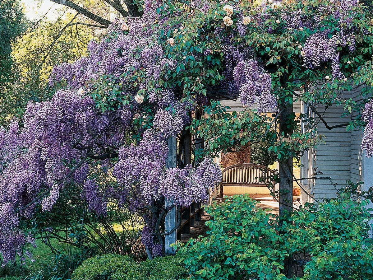 pinkdose wisteria sinensis (1 Plant) Superb shrub, best-loved ...