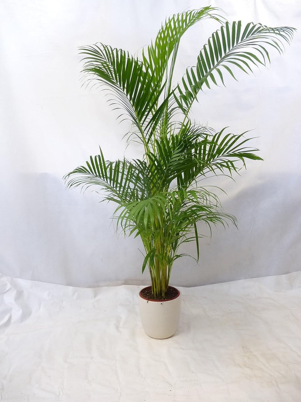 GOLDFRUCHTPALME - Chrysalidocarpus lutescens - Areca Palme 130 cm Zimmerpalme