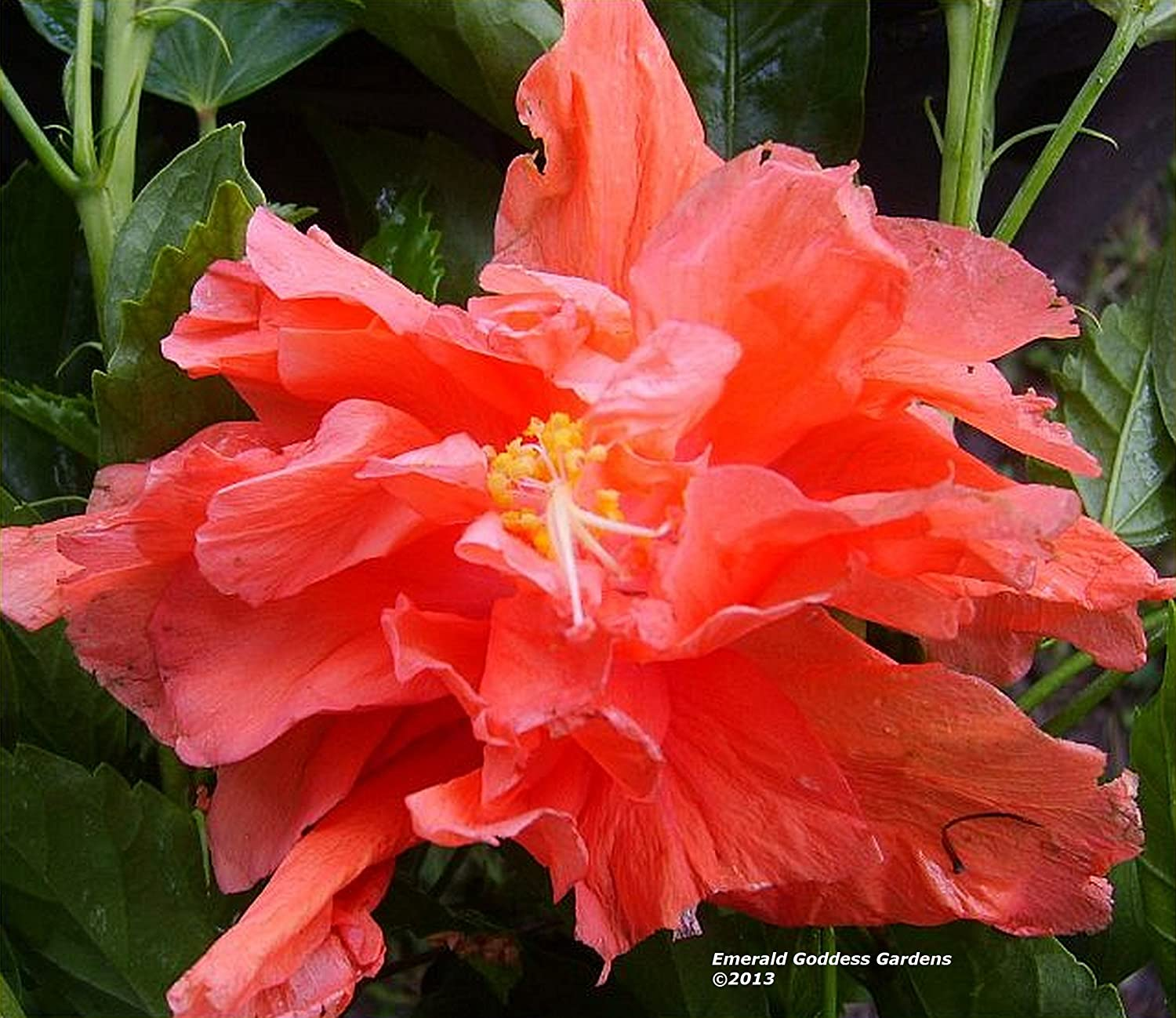 """EXOTIC JANE COWEL HIBISCUS~ STARTER LIVE PLANT 5/"""" TALL PLUG SIZE"""