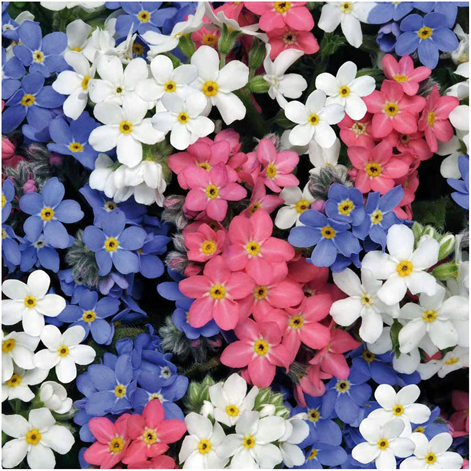 Amazon.com : Package of 1, 000 Seeds, Forget-Me-Not Mixed Colors ...