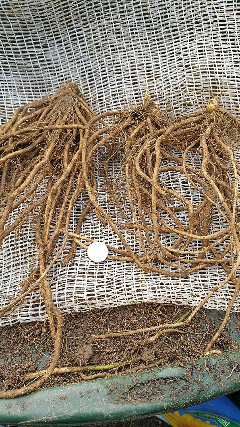 10 x Asparagus 1 yrs old CrownsQuality Crowns ready to Plant Out The Wolds Collection
