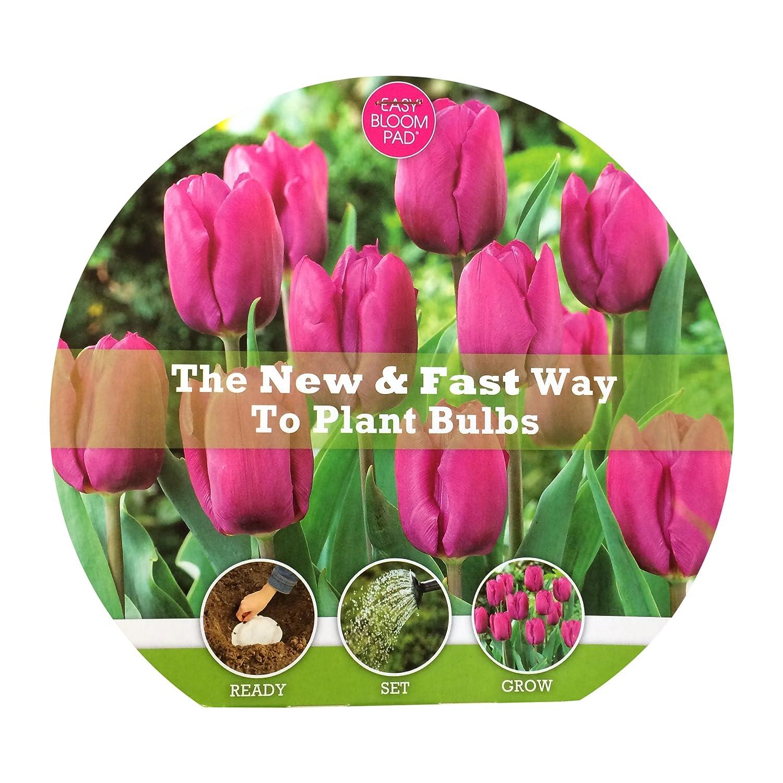 Amazon Bloom Pad 8 Piece Tulip Prince Flower Bulb 7 Purple