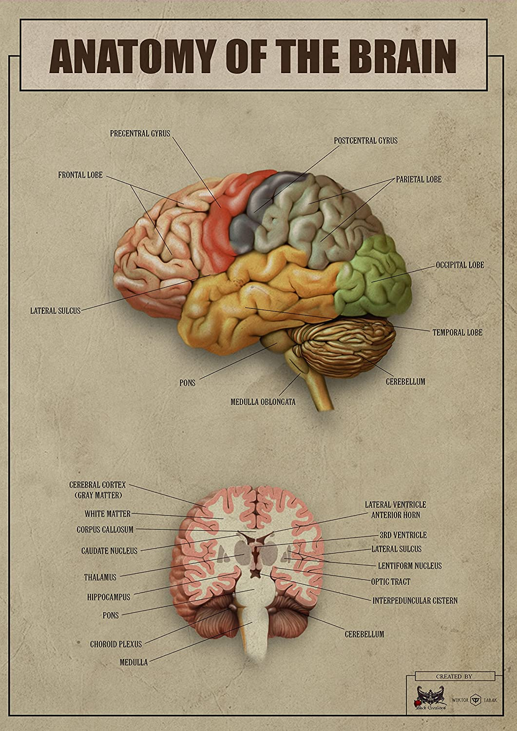 Anatomy of the brain version2 biology Poster Canvas Picture Print ...
