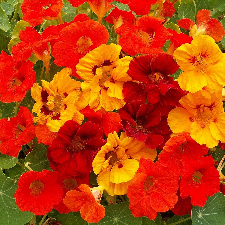 Amazon Outsidepride Nasturtium Seed Mix 14 Lb Garden Outdoor