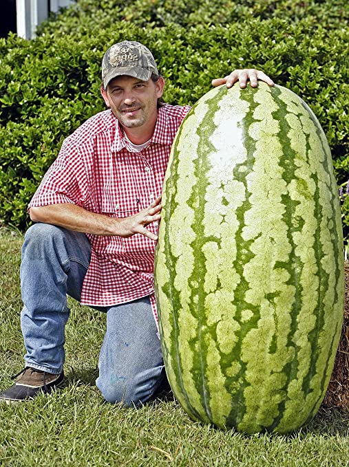 North Carolina Giant Watermelon -10 Seeds- HUGE 200 lbs by Duncan Seed :  watermelon: Amazon.ca: Toys & Games