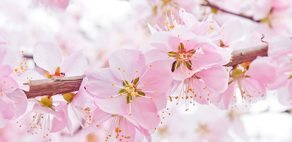 Amazon Com Sakura Live Wallpapers Appstore For Android