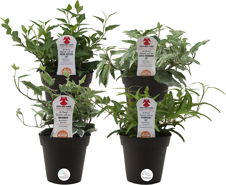Amazon Com Costa Farms Exotic Angel Ivy Live Indoor Plant