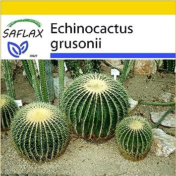 Echinocactus grusonii SAFLAX Kakteen 40 Samen Schwiegermutterstuhl