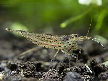 Aquatic Arts 1 Live Amano Shrimp | Freshwater Aquarium Algae Eater/Real  Living Nano Fish Tank Pet |