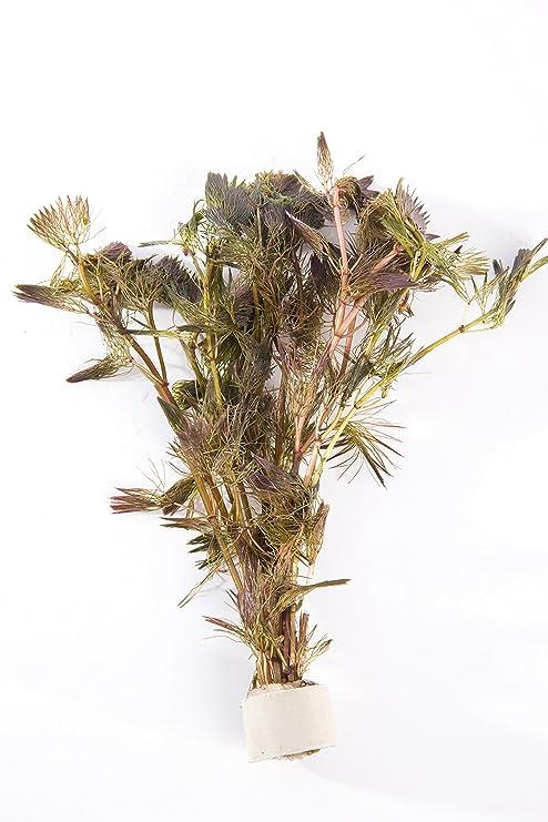 3 ramo Cabomba piauhyensis, rojo planta acuática para Acuario