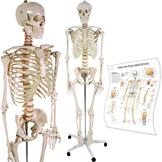 Anatomical Skeleton Model w/Stand for Medical School Learning Aid ...