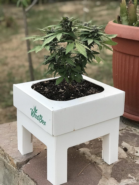 Starter Kit Weedbox Medussa-Protect. Sumo Seeds. Green Mango MEDUSSA-PROTECT S.L
