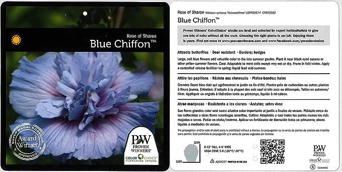 Amazon Blue Chiffon Rose Of Sharon Hibiscus Live Shrub Blue