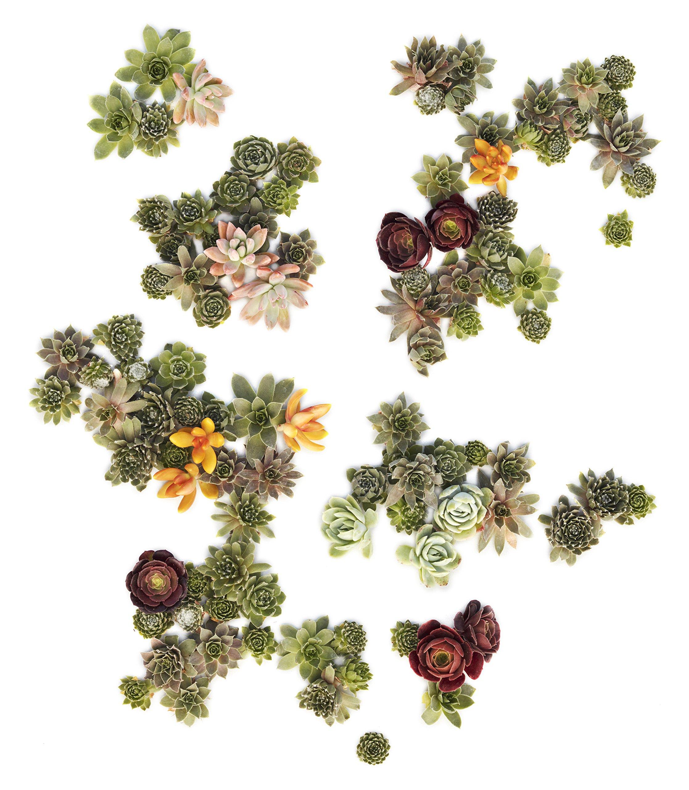 Succulent Gardens Assorted-cutting-living-pictures-125 Living Picture Cuttings Succulent, 125 1 quart, Multicolor