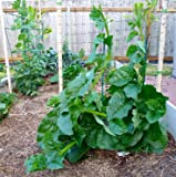 Green Malabar Spinach-100 Seeds [Guyana Thick Leaf Callaloo] Fast-growing Vine