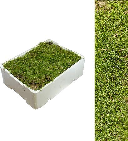 1 Caja Placa de Musgo aprox. 2,00 - 2,50 kg Colchón de musgo verde naturaleza,Producto natural,Caja