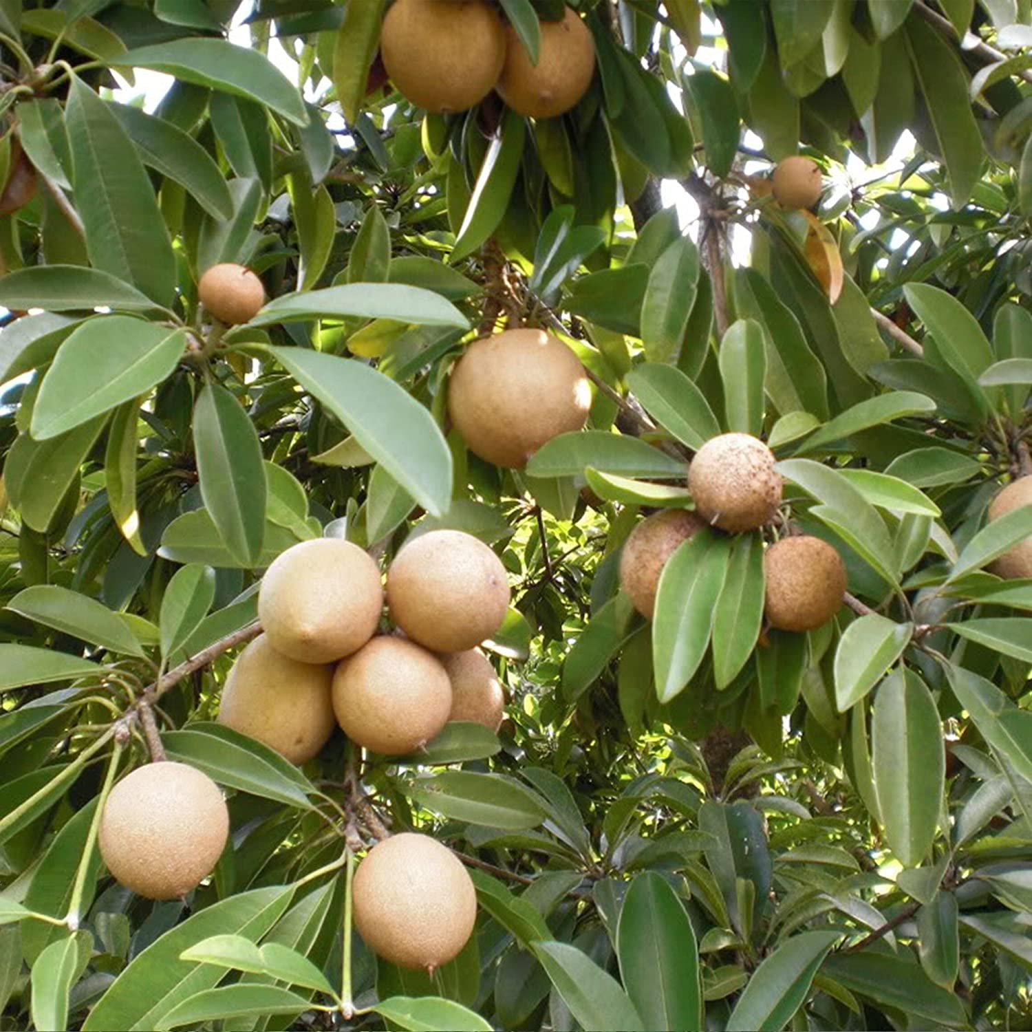 Sapodilla Tree (Manilkara zapota) 3 Rare Organic Tropical Fruit Tree Seeds