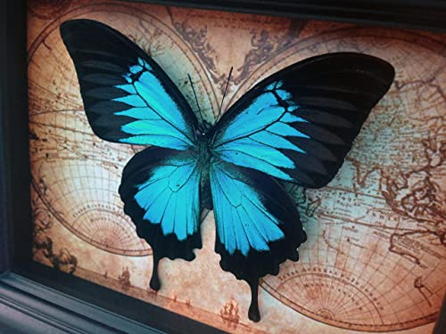 Real Papilio Ulysses Swallowtail Butterfly Display Shadow Box