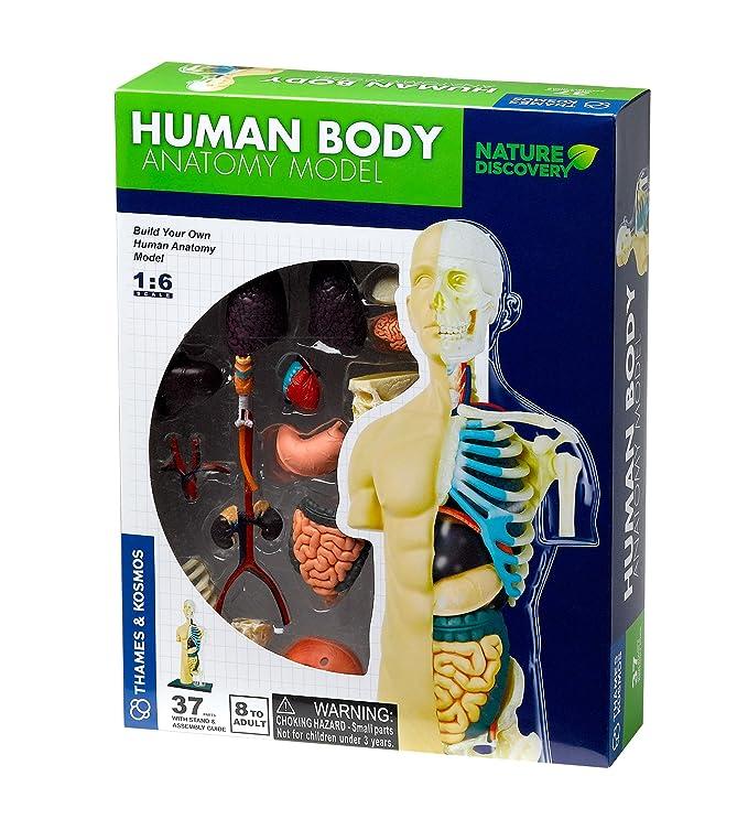 Menschlichen Körper Anatomie Modell: Amazon.de: Spielzeug