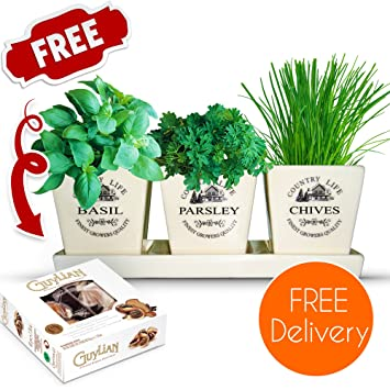 Kitchen Herb Garden Pot With Basil, Parsley And Chive Seeds With Chocolates    Perfect For