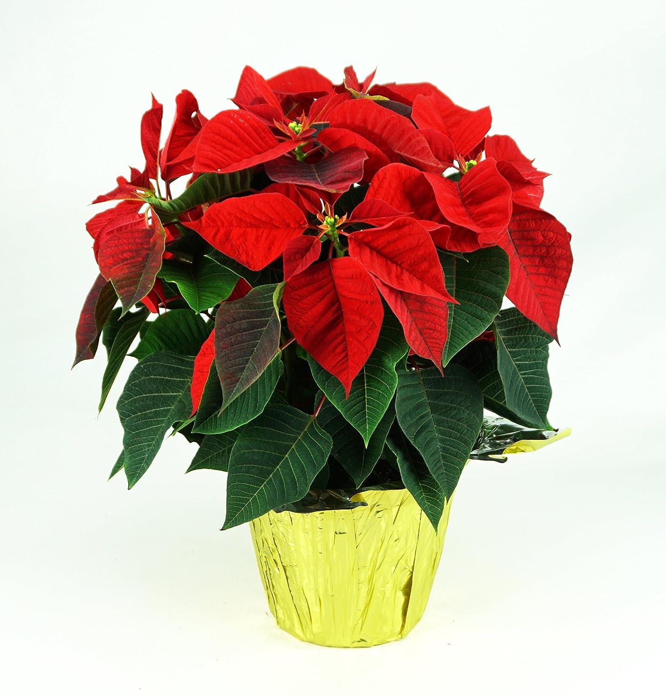 Amazon Poinsettia Plant Red 6 Pot Everything Else