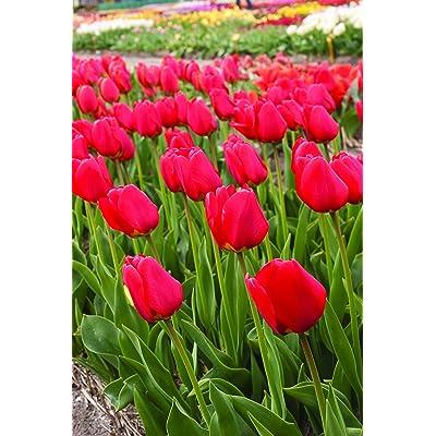 Willard & May Red Tulips Darwin Hybrids (25 Bulbs) - Red Van Eijk Tulip Bulbs - Perennial Bulbs : Garden & Outdoor