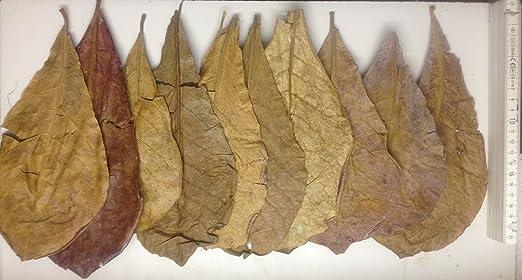 10 Seemandelbaumblätter 10-15cm original A-Markenware von SMJS-Cambodia +++BLITZVERSAND+++ Seemandellaub Catappa Leaves
