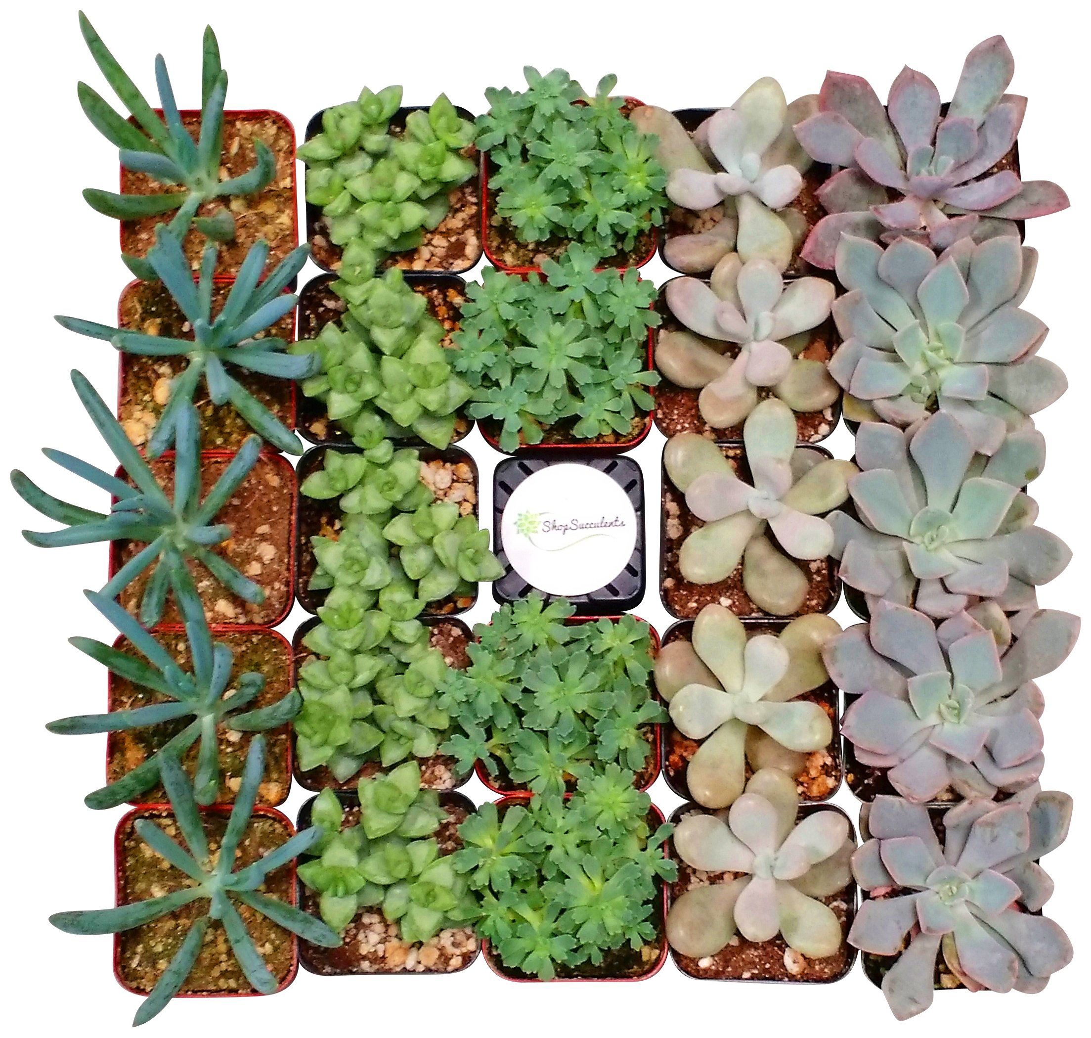 Shop Succulents Assorted Succulent (Collection of 140)