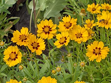 Amazon coreopsis sterntaler golden yellow petals with red amazon coreopsis sterntaler golden yellow petals with red brown center daisy like frilly flowers approximately 25 seeds garden outdoor mightylinksfo