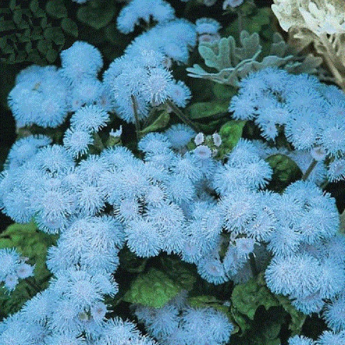 Best Garden Seeds New Ageratum 'Blue Ball' Quality Flower Seeds, 38 Seeds, Professional pack, blue cut indoor flowers by Best Garden Seeds