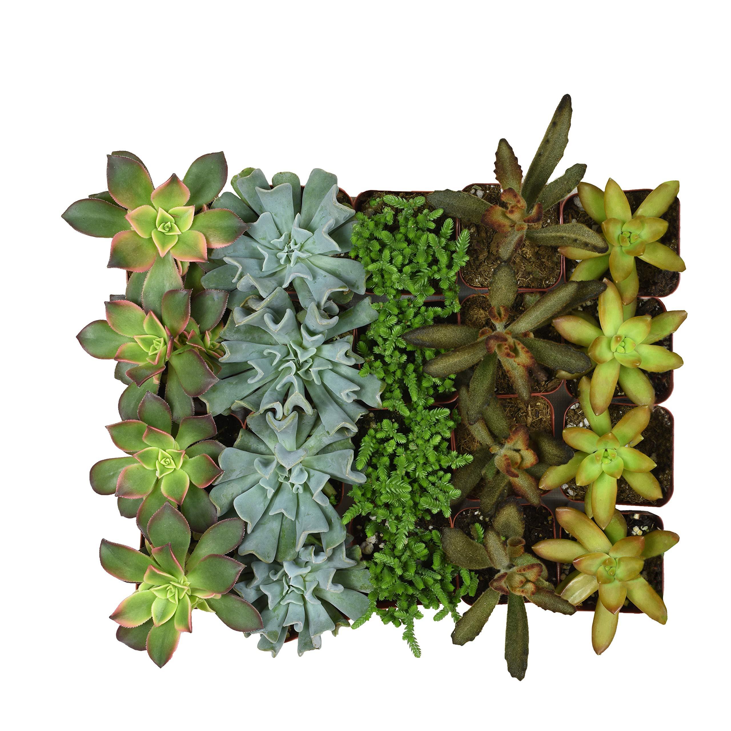 Altman Plants Mini Live Assorted Succulents Weddings, Party favors, DIY terrariums, Gifts 2'' 20 Pack by Altman Plants (Image #2)