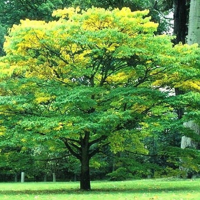 Amazon Japanese Zelkova Zelkova Serrata 30 Seeds Garden