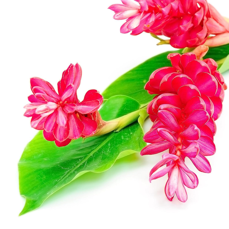 Amazon Hot Pink Ginger Alpinia Purpurata Live Plant Garden