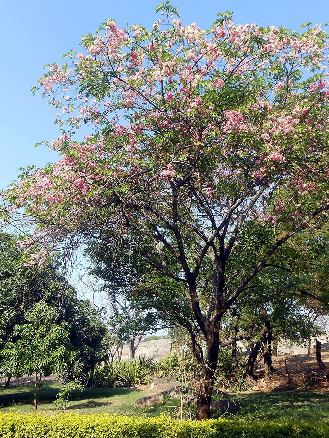 Seed Seller Rare Cassia Javanica Seeds For Growing Known As Java