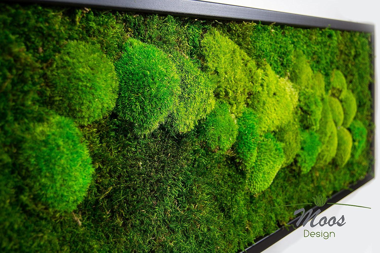 Moosbild Pflanzenbild mit Kugelmoos und Flachmoos Flachmoos Flachmoos versch. Maße günstig (Schwarz, 100x35 cm) d99e8c