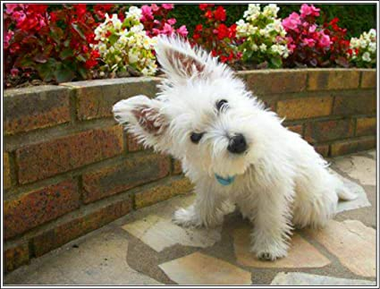 Amazoncom Package Of Four 4 West Highland Terrier Westie Dog