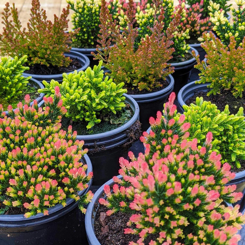Premium Hardy Mixture of Garden Plants Large Flowering Evergreen Bushy Shrub Mix Calluna Heathers 36 Potted Plants