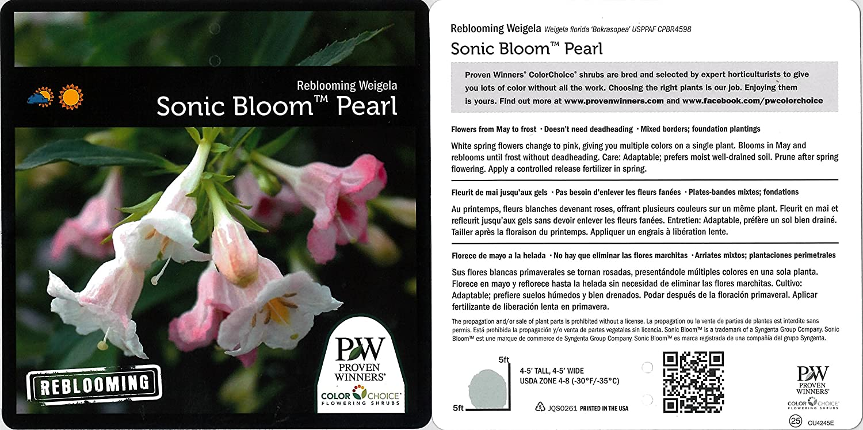 Amazon Sonic Bloom Pearl Reblooming Weigela Florida Live