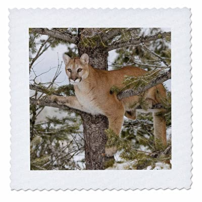 3dRose Danita Delimont - Big Cats - Mountain lion in tree