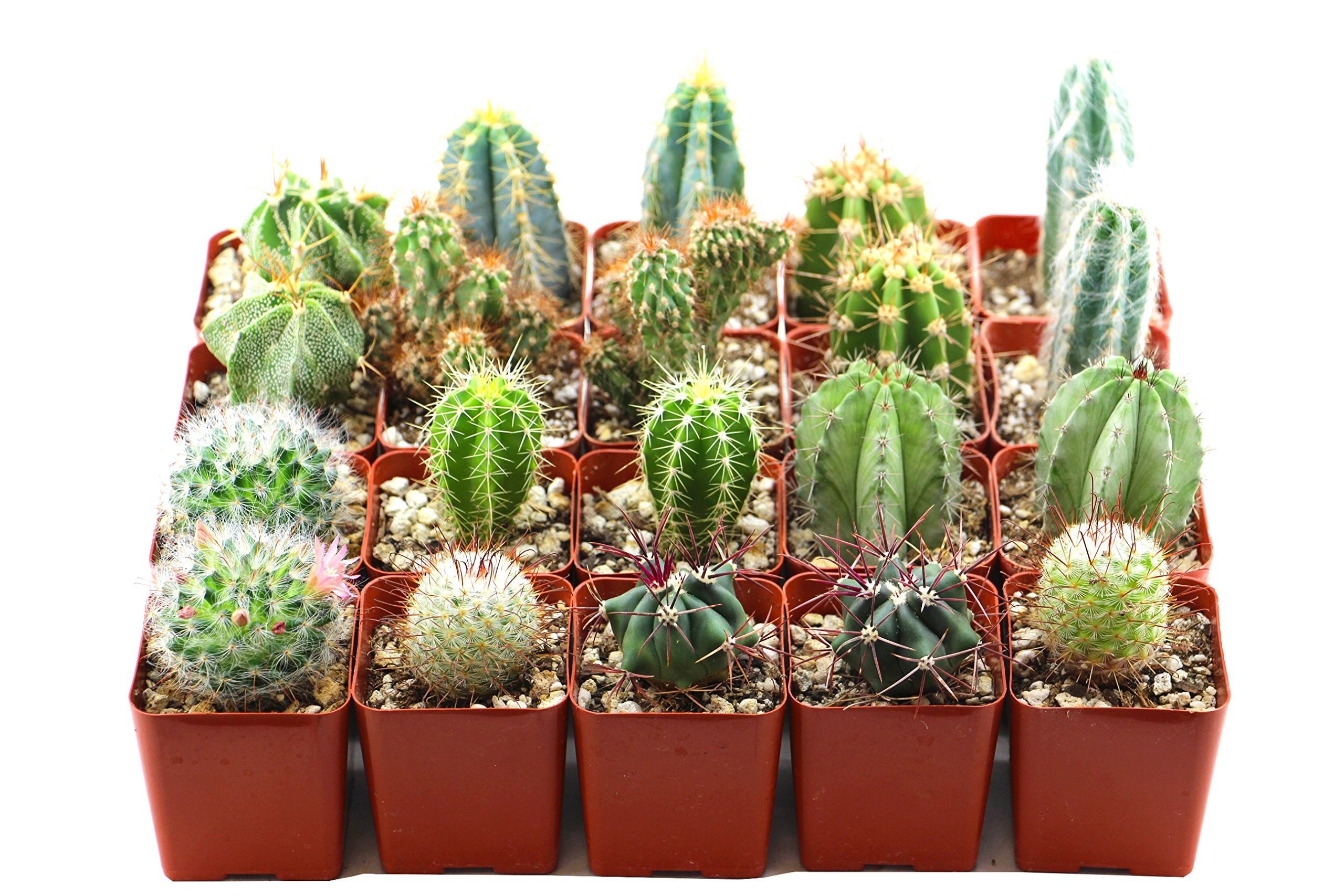 Shop Succulents | Cool Cactus of of Live Succulent Plants, Hand Selected Variety Pack of of Cacti in 2.5'' pots | Collection of 20