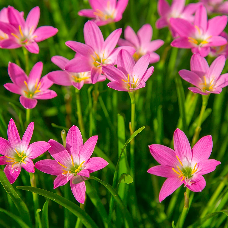 Amazon Rain Lily Rose Bulbs Zephyr Lilies Zephyranthes Rosea