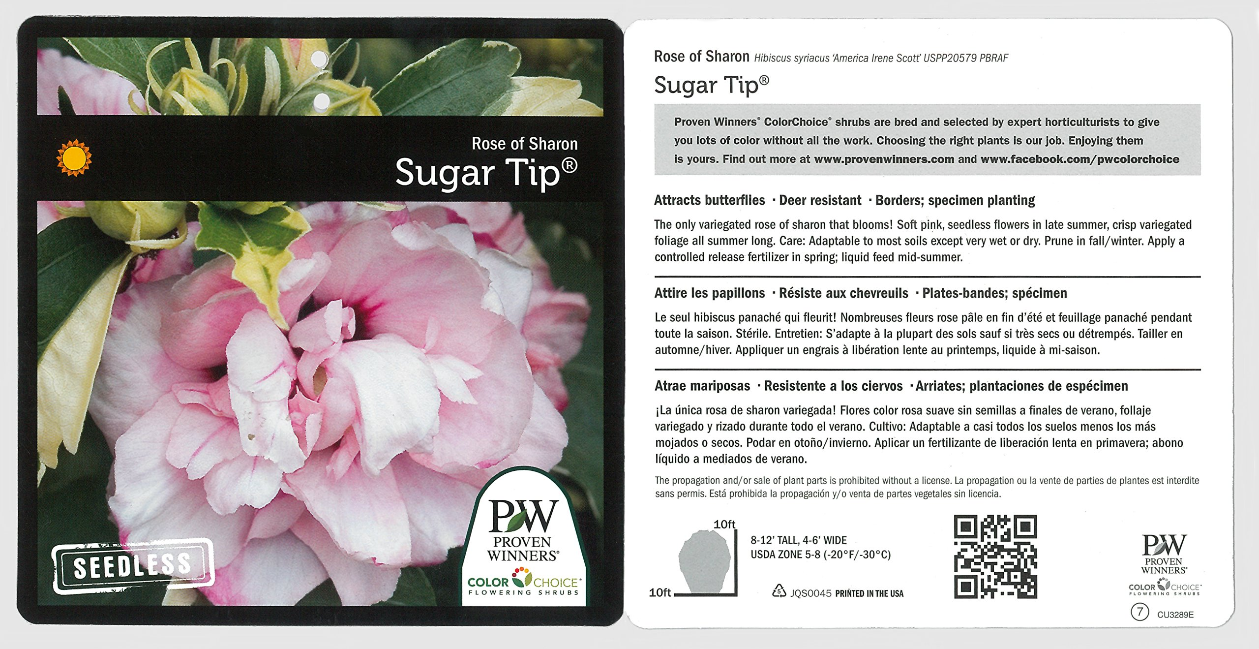 Sugar Tip Rose of Sharon (Hibiscus) Live Shrub, Light Pink Flowers and Variegated Foliage, 1 Gallon by Proven Winners (Image #3)