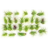 25 Ionantha Tillandsia Air Plant Pack, Each 2 to 3.5 Inches Long, Live Tropical House Plants for Home Decor, Indoor Terrarium