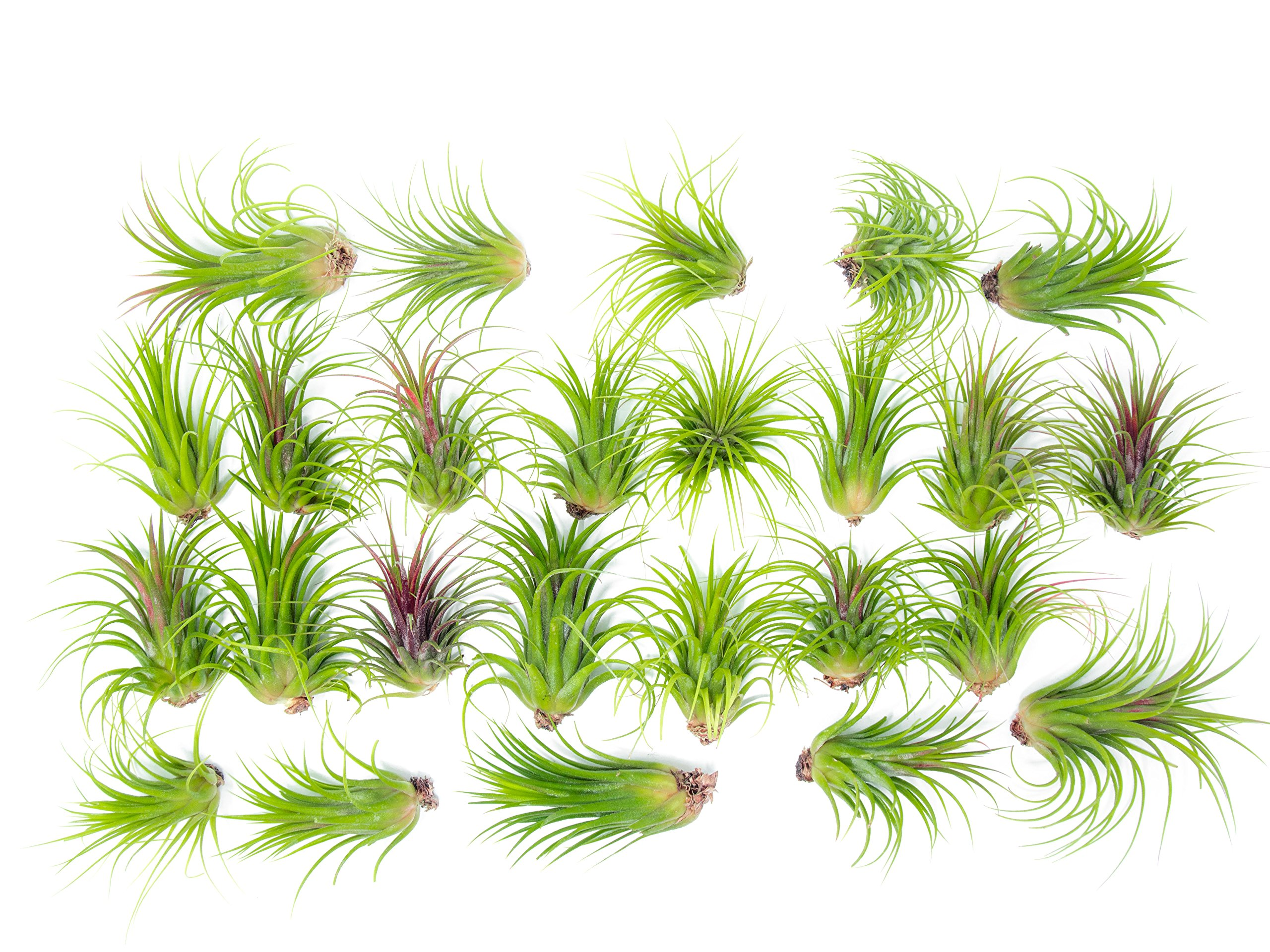 25 Large Ionantha Tillandsia Air Plant Pack - Each 2 to 3.5 Inches Long - Live Tropical House Plants for Home Decor - Indoor Terrarium Air Plants by Plants for Pets