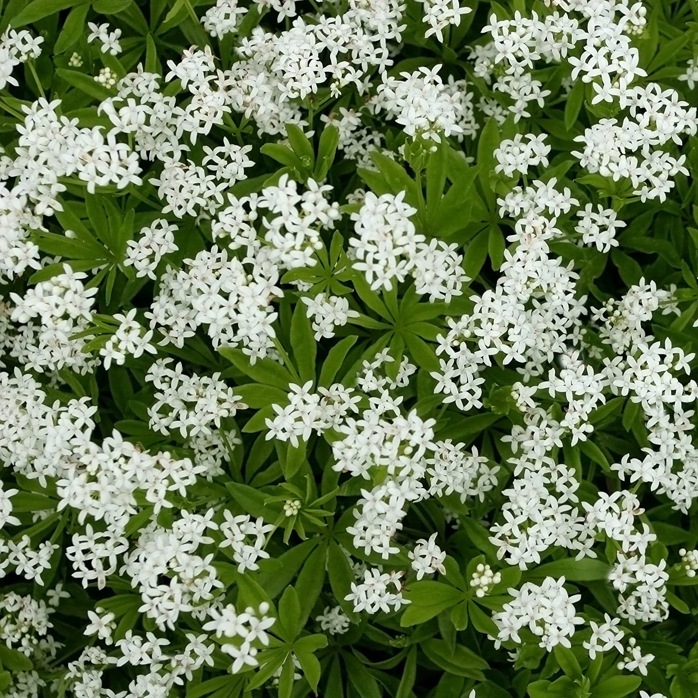 Sweet Woodruff (Galium odoratum)