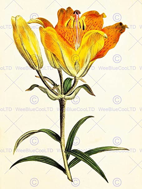 PAINTING BOTANICAL ILLUSTRATION FLOWER LILY PETAL ORANGE YELLOW 30X40 CMS FINE ART PRINT POSTER BB8373