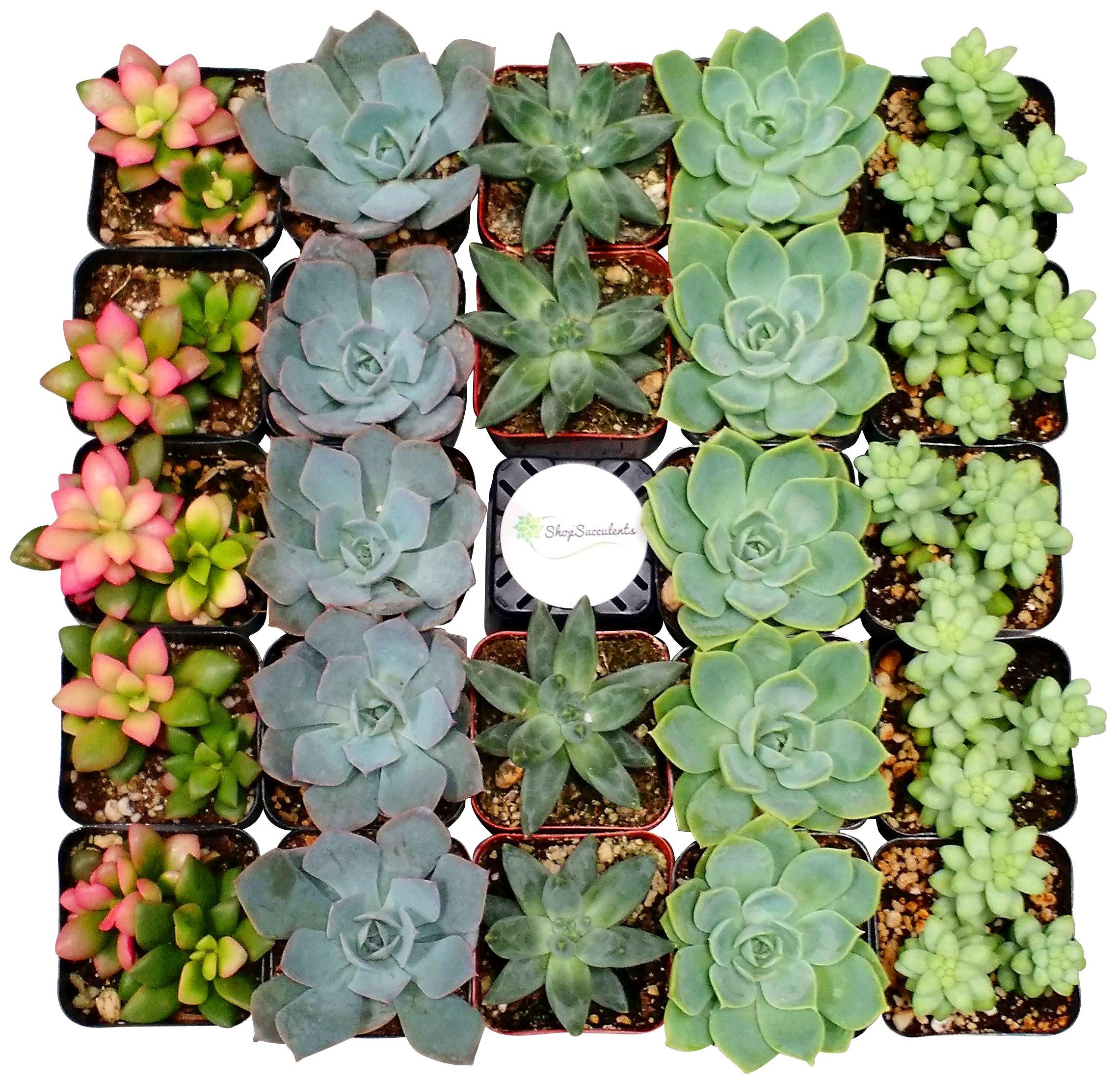 Shop Succulents Premium Pastel Succulent (Collection of 64)