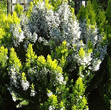 9cm pot heather erica arborea estrella gold fragrant white flowers 9cm pot heather erica arborea estrella gold fragrant white flowers yellow foliage mightylinksfo